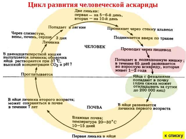 Аскарида развитие схема