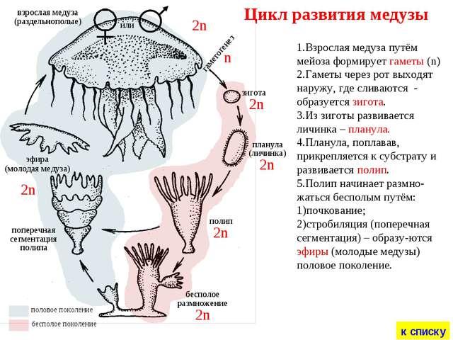 зигота планула (личинка) полип бесполое размножение эфира (молодая медуза) по...