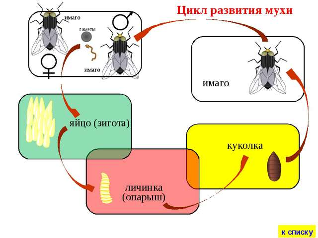 Цикл развития мухи яйцо (зигота) личинка (опарыш) куколка имаго имаго имаго к...