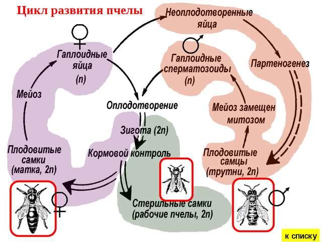 Цикл развития пчелы к списку
