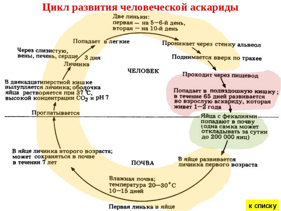 Цикл развития человеческой аскариды к списку