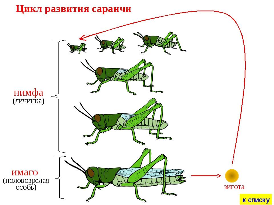 зигота Цикл развития саранчи к списку