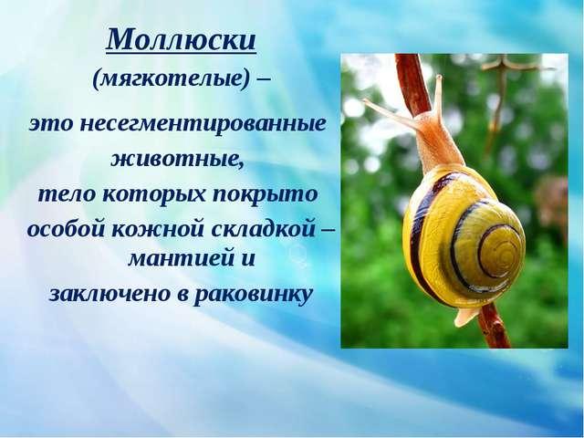 Моллюски (мягкотелые) – это несегментированные животные, тело которых покрыт...