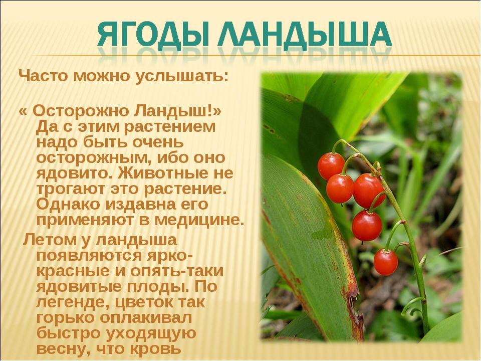 Часто можно услышать: « Осторожно Ландыш!» Да с этим растением надо быть очен...