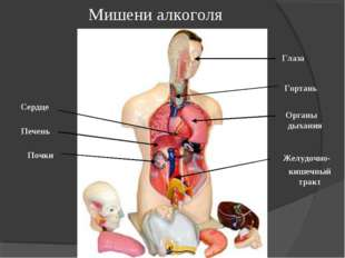 Мишени алкоголя кишечный тракт