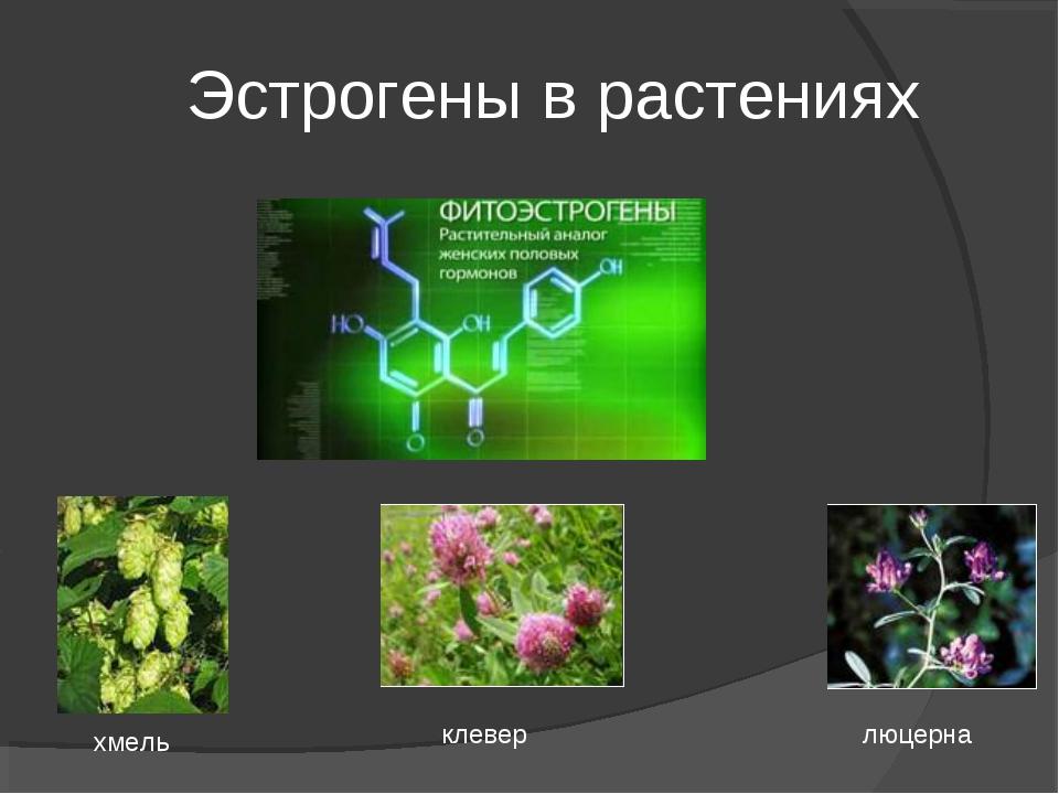 Эстрогены в растениях хмель клевер люцерна