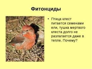 Фитонциды Птица клест питается семенами ели, тушка мертвого клеста долго не р