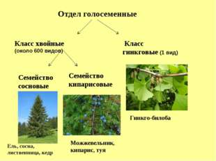Отдел голосеменные Класс хвойные (около 600 видов) Класс гинкговые (1 вид) Се