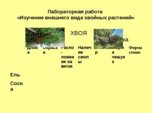 Лабораторная работа «Изучение внешнего вида хвойных растений»  ХВОЯ  Шишка