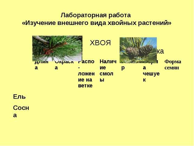 Лабораторная работа «Изучение внешнего вида хвойных растений»  ХВОЯ  Шишка...