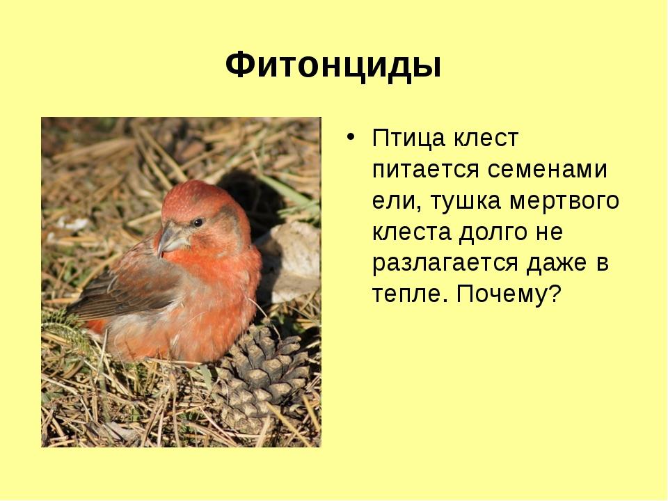 Фитонциды Птица клест питается семенами ели, тушка мертвого клеста долго не р...
