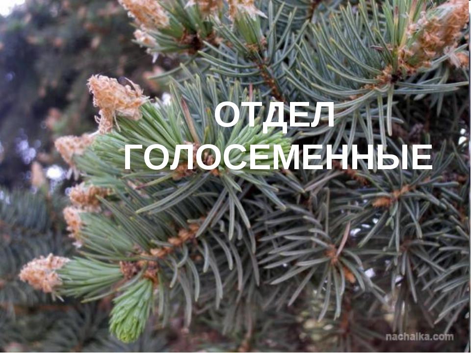 ОТДЕЛ ГОЛОСЕМЕННЫЕ