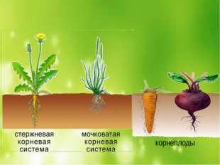 корнеплоды