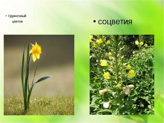 Одиночный цветок соцветия
