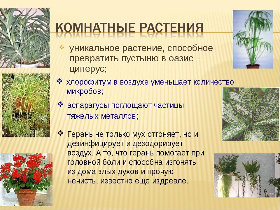 уникальное растение, способное превратить пустыню в оазис – циперус; хлорофит...