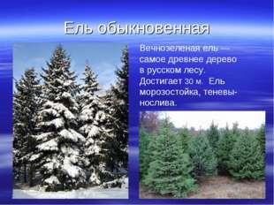 Ель обыкновенная * * Вечнозеленая ель — самое древнее дерево в русском лесу.