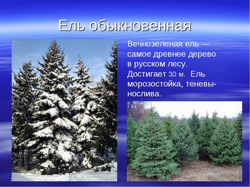 Ель обыкновенная * * Вечнозеленая ель — самое древнее дерево в русском лесу....