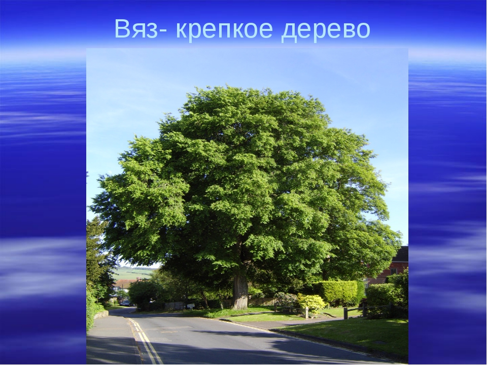 Вяз- крепкое дерево