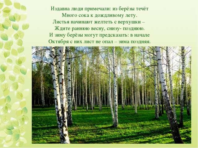 Издавна люди примечали: из берёзы течёт Много сока к дождливому лету. Листья...