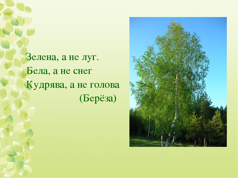Зелена, а не луг. Бела, а не снег Кудрява, а не голова (Берёза)