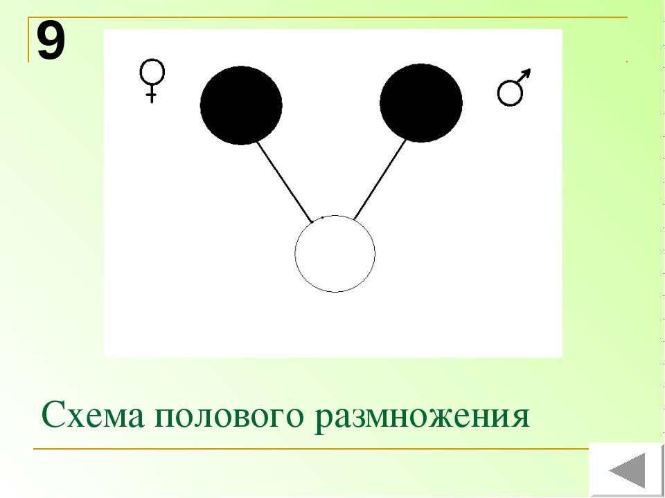 Схема полового размножения 9