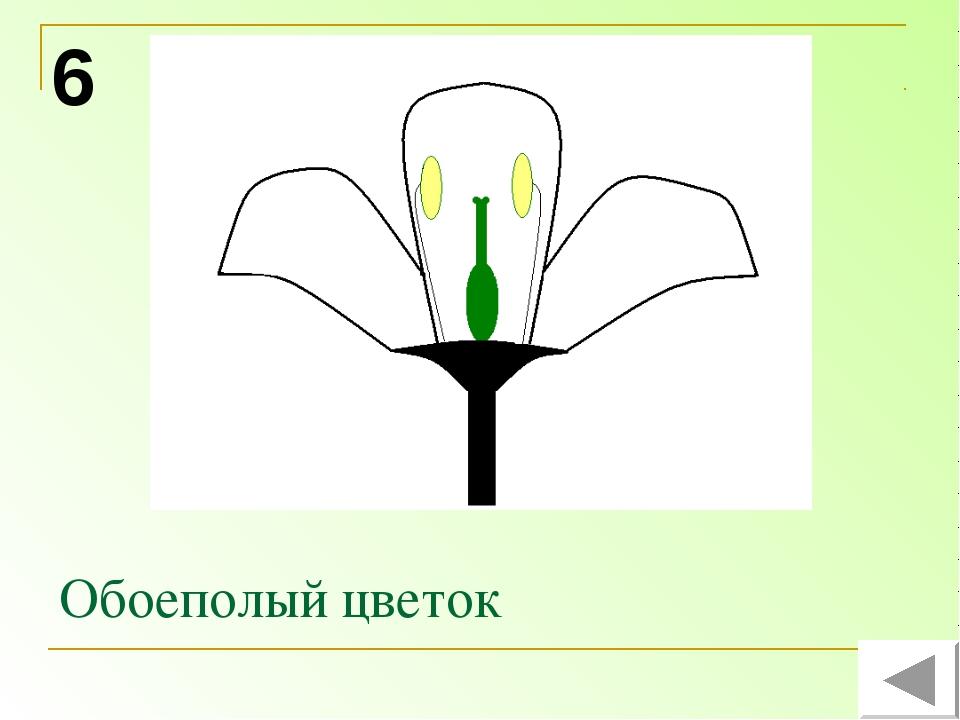 Обоеполый цветок 6