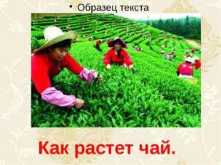 Как растет чай.