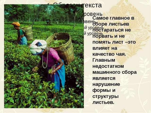 Самое главное в сборе листьев постараться не порвать и не помять лист –это в...