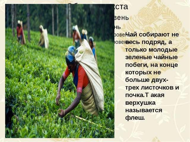 Чай собирают не весь подряд, а только молодые зеленые чайные побеги, на конц...