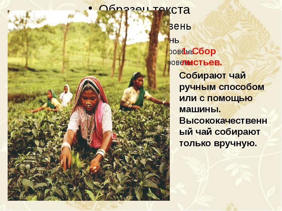 Собирают чай ручным способом или с помощью машины. Высококачественный чай со...