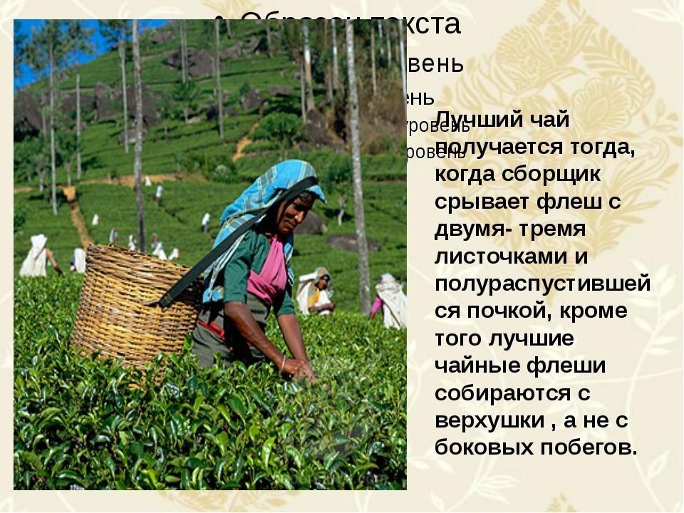 Лучший чай получается тогда, когда сборщик срывает флеш с двумя- тремя листо...