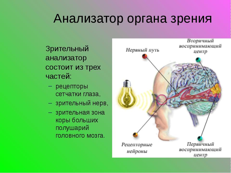 Анализатор органа зрения Зрительный анализатор состоит из трех частей: рецеп...