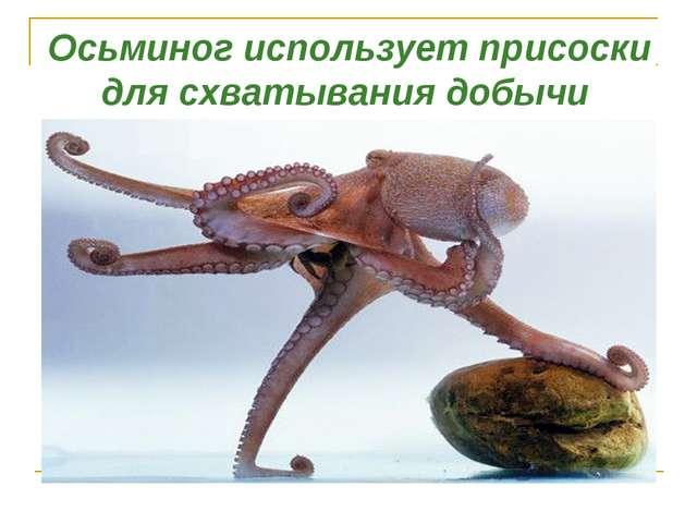 Осьминог использует присоски для схватывания добычи
