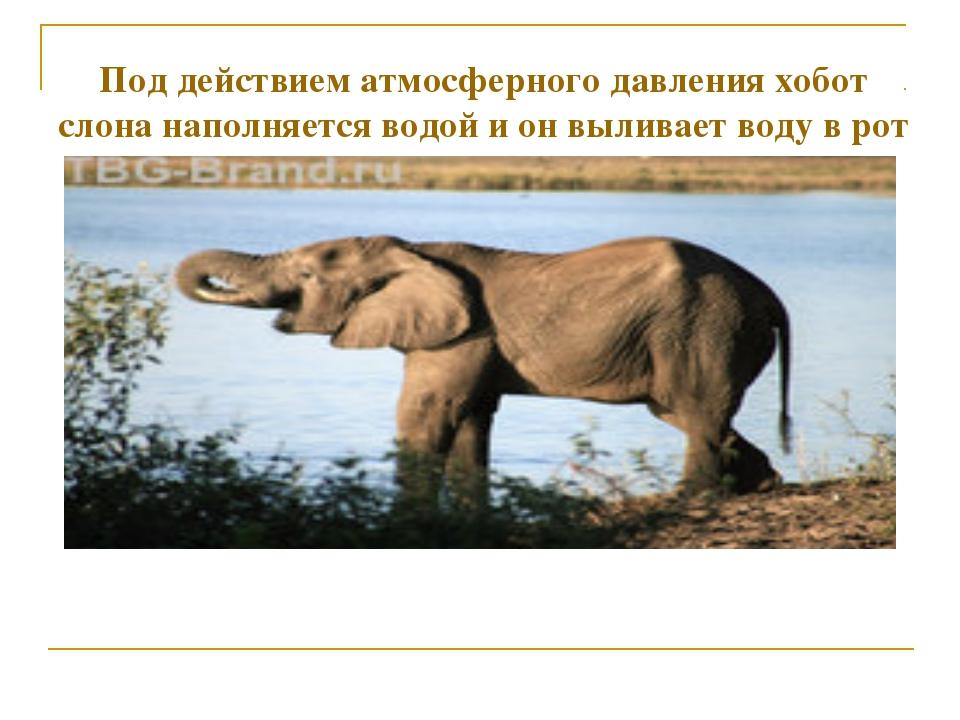 Под действием атмосферного давления хобот слона наполняется водой и он вылива...