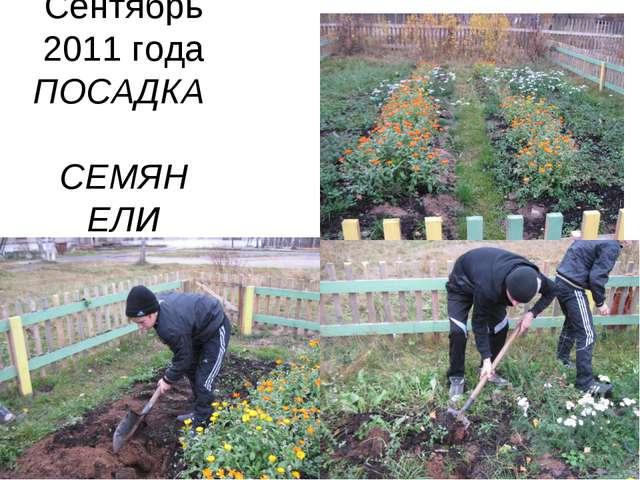 Сентябрь 2011 года ПОСАДКА СЕМЯН ЕЛИ