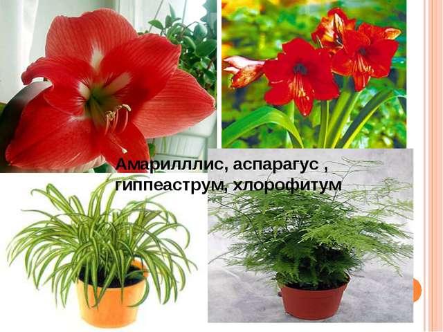 Амарилллис, аспарагус , гиппеаструм, хлорофитум