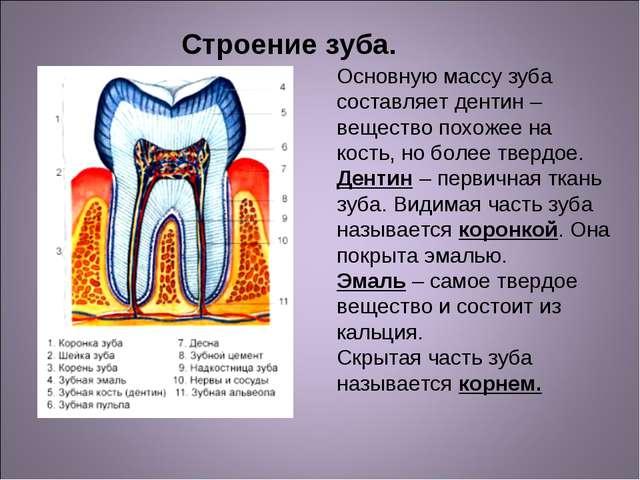 Основную массу зуба составляет дентин – вещество похожее на кость, но более т...