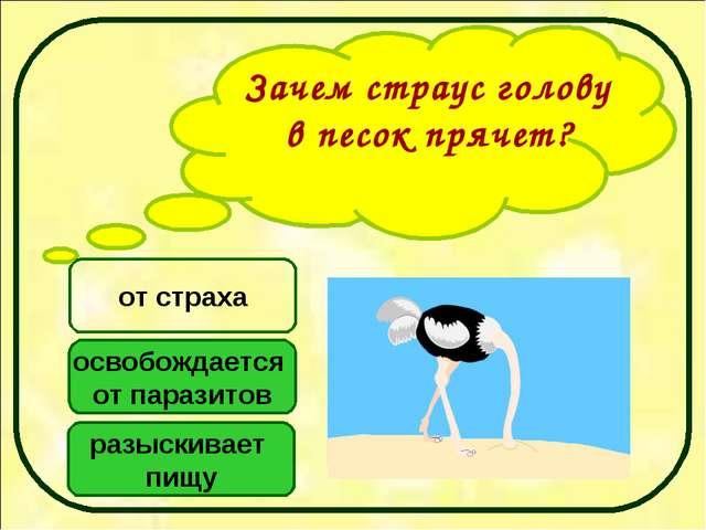 Зачем страус голову в песок прячет? освобождается от паразитов разыскивает пи...