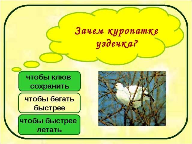 Зачем куропатке уздечка? чтобы клюв сохранить чтобы быстрее летать чтобы бега...