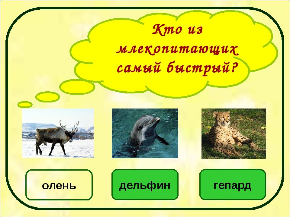 Кто из млекопитающих самый быстрый? гепард дельфин олень