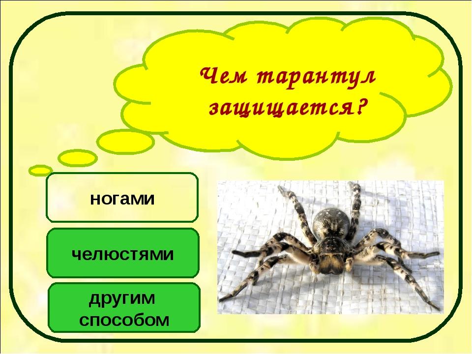 Чем тарантул защищается? другим способом челюстями ногами