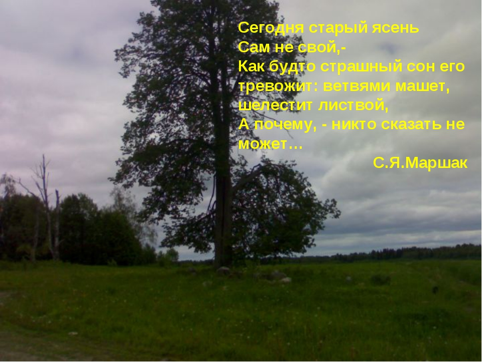 Сегодня старый ясень Сам не свой,- Как будто страшный сон его тревожит: ветв...