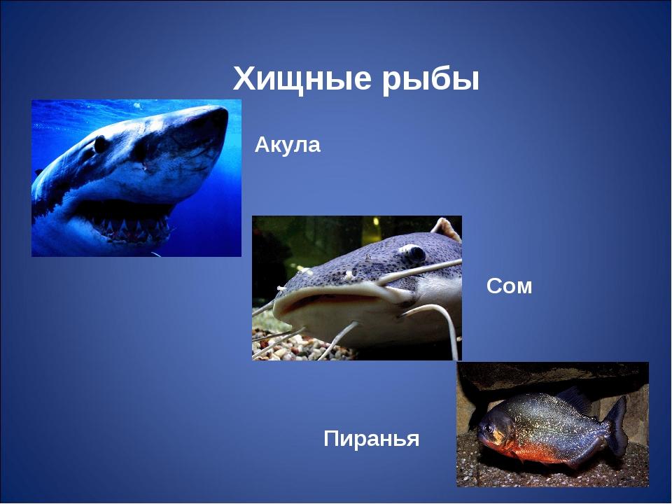 Акула Сом Пиранья Хищные рыбы