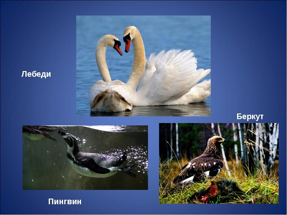 Лебеди Пингвин Беркут