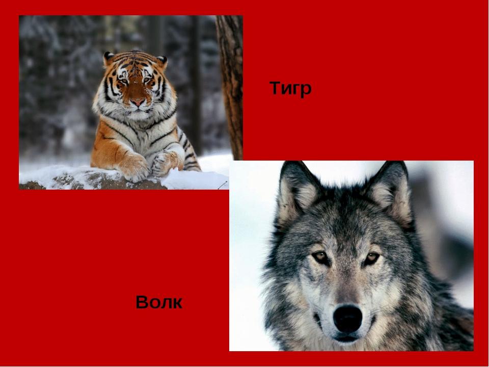 Тигр Волк