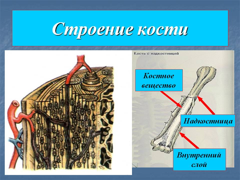 C:\Users\ПК-1\Desktop\урок\0008-008-Stroenie-kosti.jpg