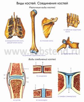 C:\Users\ПК-1\Desktop\урок\Anatomy97_0011.png