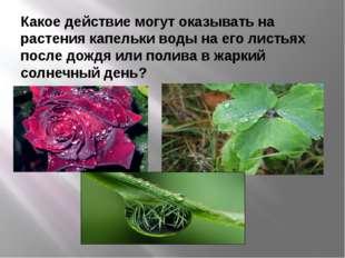 Какое действие могут оказывать на растения капельки воды на его листьях после