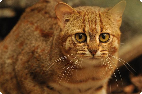 Пятнисто-рыжая кошка (лат. Prionailurus rubiginosus)