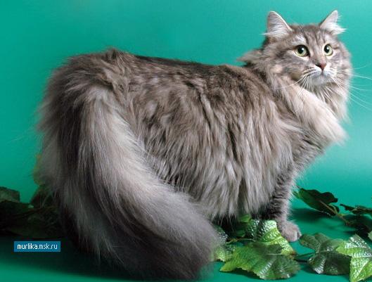 Сибирская кошка, сибирская порода кошки